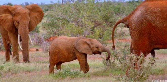 Baby Elephant and Family - Tsavo East @CPF_Photography