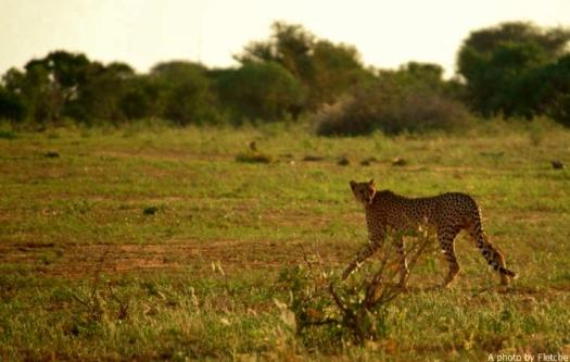cheetah, tsavo east, kenya