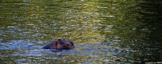 hippo, mzimba springs, kenya