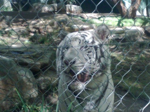 Siegfried and Roy's white tigers
