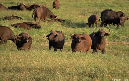 buffalo, tsavo east, kenya