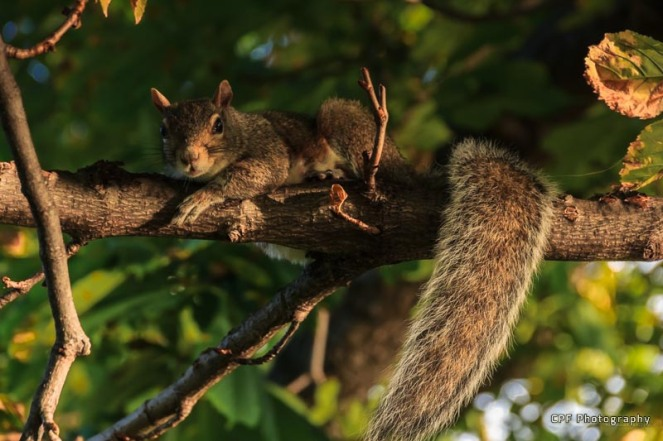 squirrel, Boston, Public Gardens
