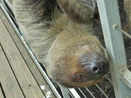 sloth budapest zoo