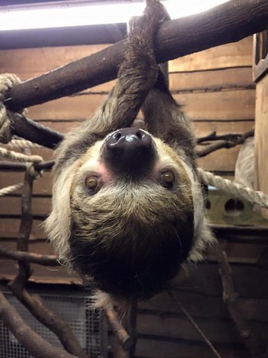Sloth, Birmingham Wildlife Conservation Centre