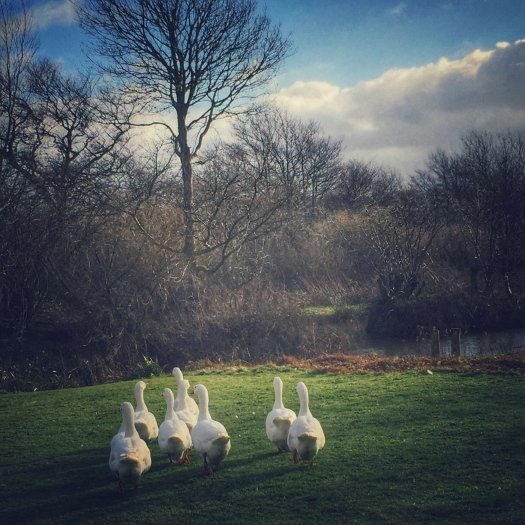 A gaggle of Embden geese approaching the pond at Wildernest